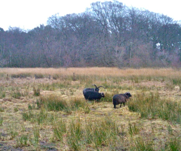 Hebridean sheep on Hermand meadow