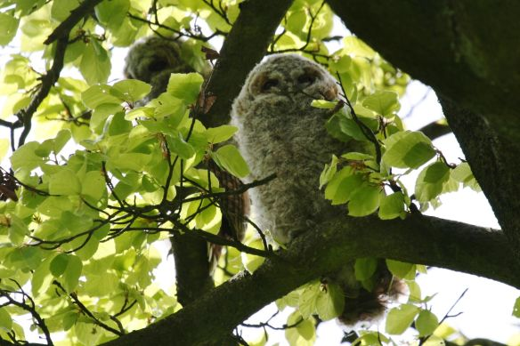 Tawny owl young, by Bill Cowan