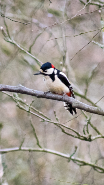 Woodpecker by Peter Baird